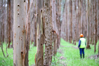 New Forests' plantation in Australia
